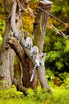 Free Lemurs Up The Tree Stock Images - 6783034