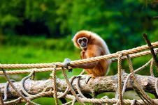Free Gibbon Stock Image - 6783141
