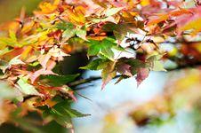 Free Japanese Maple Leaves Stock Photo - 6783330