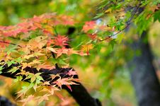 Free Maple Leaves Royalty Free Stock Images - 6783459