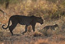 Free Leopard Mother And Cub Royalty Free Stock Photo - 6784115