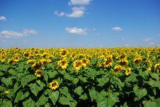 Free Sunflower Stock Photo - 6784200
