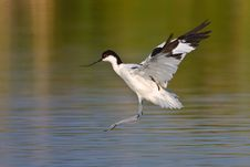 Free Pied Avocet Royalty Free Stock Photo - 6784695