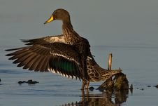 Free Yellow Billed Duck Stock Photography - 6785062