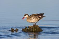 Red-billed Teal Stock Photos
