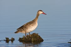 Free Red-billed Teal Stock Photography - 6785382