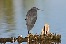 Free Black Heron Stock Photography - 6785432