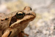 Free Brown Frog Rana Temporaria Stock Photography - 6785462