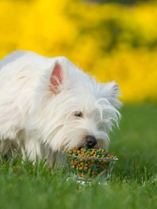 Free West Highland White Terrier Stock Photos - 6785543