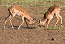 Free Impala Rams Fighting Royalty Free Stock Images - 6785579