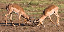 Free Impala Rams Fighting Stock Photos - 6785623