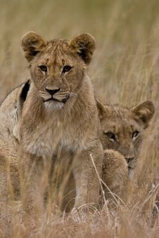 Free African Lion Stock Photo - 6785780