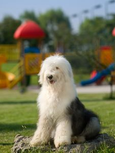 Free Old English Sheepdog Stock Photos - 6785973