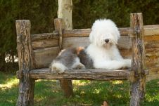 Free Old English Sheepdog Stock Photo - 6786010