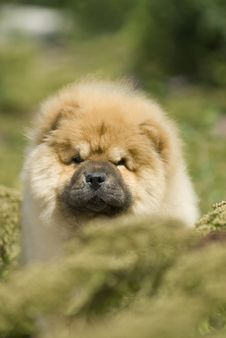 Free Chow Chow Stock Photography - 6786442