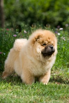 Free Chow Chow Royalty Free Stock Images - 6786529