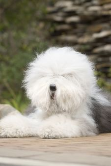Free Old English Sheepdog Stock Photos - 6786663