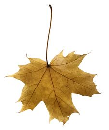 Free Maple Leaf Royalty Free Stock Photography - 6787077