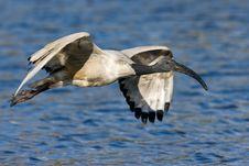 Free African Sacred Ibis Royalty Free Stock Image - 6787336