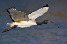 Free African Sacred Ibis Stock Images - 6787414