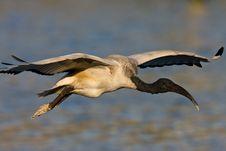 Free African Sacred Ibis Stock Photos - 6787603