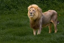 Free African Lion Stock Images - 6787664