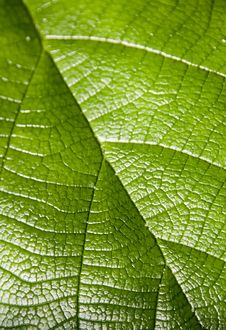 Close Up On Green Leaf Royalty Free Stock Photography