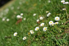 Free Daisies In The Park Royalty Free Stock Photo - 6787815