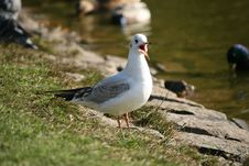 Free Gull - Laridae Stock Photo - 6787840