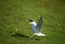 Free Sea-gull - Laridae Royalty Free Stock Photo - 6787845