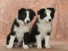 Free Border Collie Stock Photography - 6787942