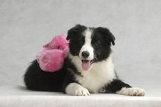 Free Border Collie Stock Photo - 6788070