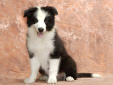Free Border Collie Royalty Free Stock Photo - 6788075