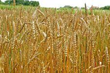Free Wheat Royalty Free Stock Photo - 6788245
