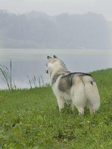 Free Siberian Husky Stock Image - 6788251