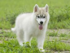 Free Siberian Husky Royalty Free Stock Photo - 6788335