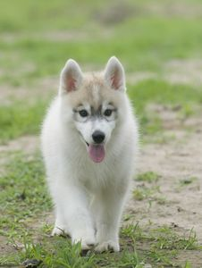 Free Siberian Husky Royalty Free Stock Image - 6788336