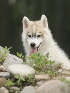 Free Siberian Husky Dog Royalty Free Stock Photos - 6788438