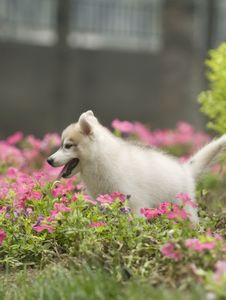 Free Siberian Husky Puppy Dog Stock Photos - 6788453