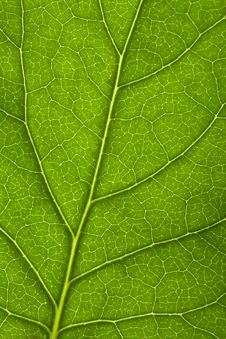 Free Macro Of Fresh Leaf Royalty Free Stock Images - 6789249