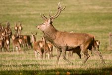 Free Deer Royalty Free Stock Photography - 6789477