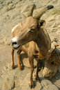 Free Young Bighorn Sheep Royalty Free Stock Images - 6793649