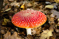 Free Fly Agaric Royalty Free Stock Photo - 6795475