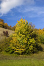 Free Little Maple Tree Stock Photography - 6796792