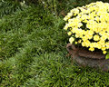 Free Pot Of Mums Stock Photography - 6799212