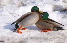 Duck Fight Royalty Free Stock Images