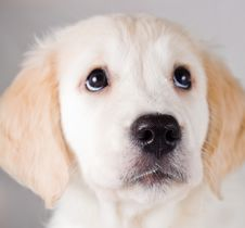 Free Retriever Puppy Looking Up Stock Photos - 6790523
