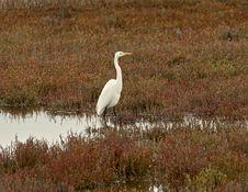 Free Egret In Marsh Stock Images - 6790634