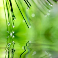 Pine Needle With Dewdrops Royalty Free Stock Photos