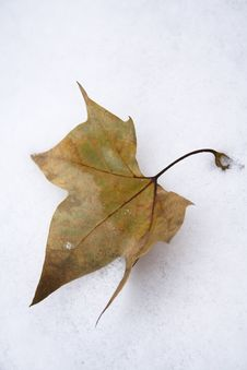 Free Leaf In Snow Royalty Free Stock Photography - 6791877